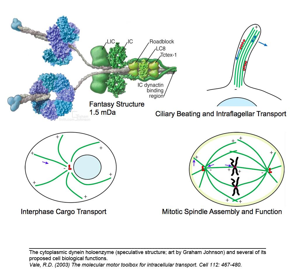 Research Molecmot Dynein